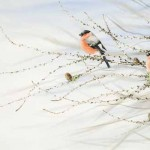 A Bellowing of Bullfinches